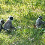 Indien-Bild-Affen